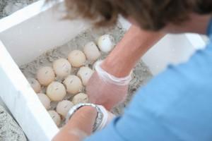 นักวิทยาศาสตร์ การศึกษา ทะเล เต่า ไข่