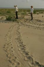 mora, kornjaču, puzati, pijesak, plaža