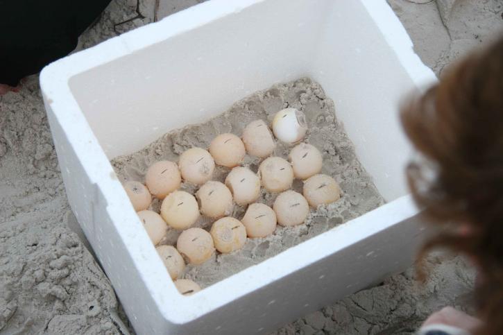 more, korytnačka, vajcia, naložené, polystyrénu, chladič