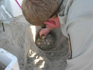 Sea turtle nest, utgraving