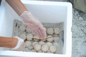 thermomètre, soigneusement installé, la boîte, le sable, la tortue, les œufs