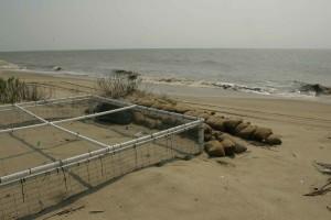 tortues, nids, écloserie, sacs de sable, protéger, prédit, possible, tropical, tempête, activité