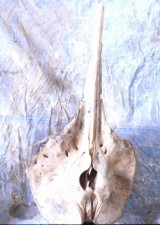whale, skull, whale, animal
