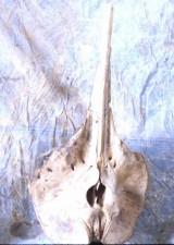 baleine, crâne, baleine, animal