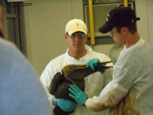 workers, attempt, clean, pelican, soiled, oil, spill