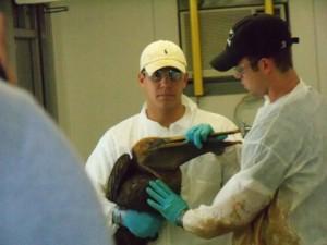 คนทำงาน พยายาม ความ สะอาด น้ำมัน หก นก กระทุง ผที่เปื้อน