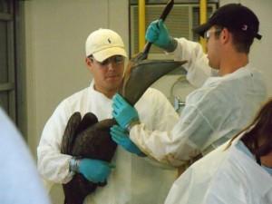 workers, pelicans