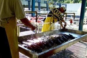 pracy, ryby
