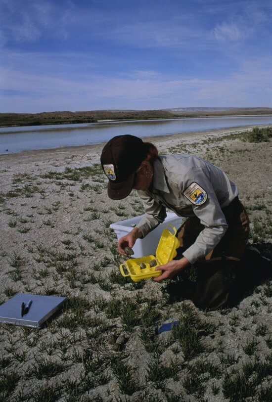 collecting, avocet, eggs, analysis