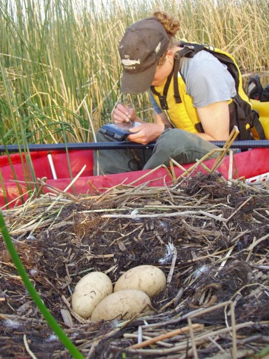 collecting, data, swan, nest
