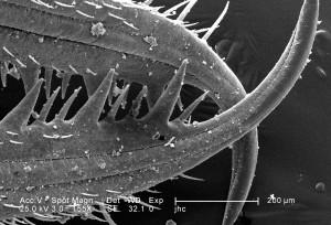 exosquelette, surface, larvaire, antlion, mandibules