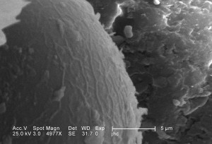 ultrastructural, morphology, head, region, larval, antlion
