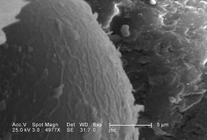 ultrastructural, la morphologie, la tête, la région, des larves, antlion