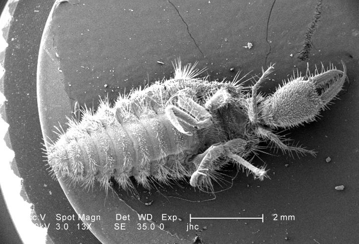 faible grossissement, ventral, surface, larvaire, antlion