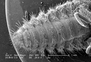 faible grossissement, ventrale, abdominale, surface, larvaire, antlion