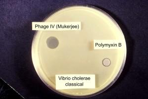 classique, sensibilité, test, vibrio cholerae, impliquant, groupe, bactériophage, polymyxine