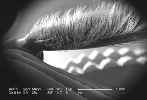 elektron mikroskop-bilde, bille, medlem, klasse, insecta, rekke, arthropoda