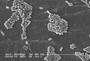 escherichia coli, bacteria, formed, colonial, groupings