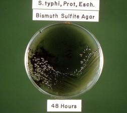 typhi, coli, Proteus, bacterias, culta, bismuto, sulfito, agar, de 48 horas, la incubación