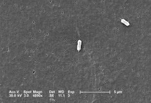 deux, escherichia coli, bactéries, clairement, l'affichage, l'un, péritriches, flagelles
