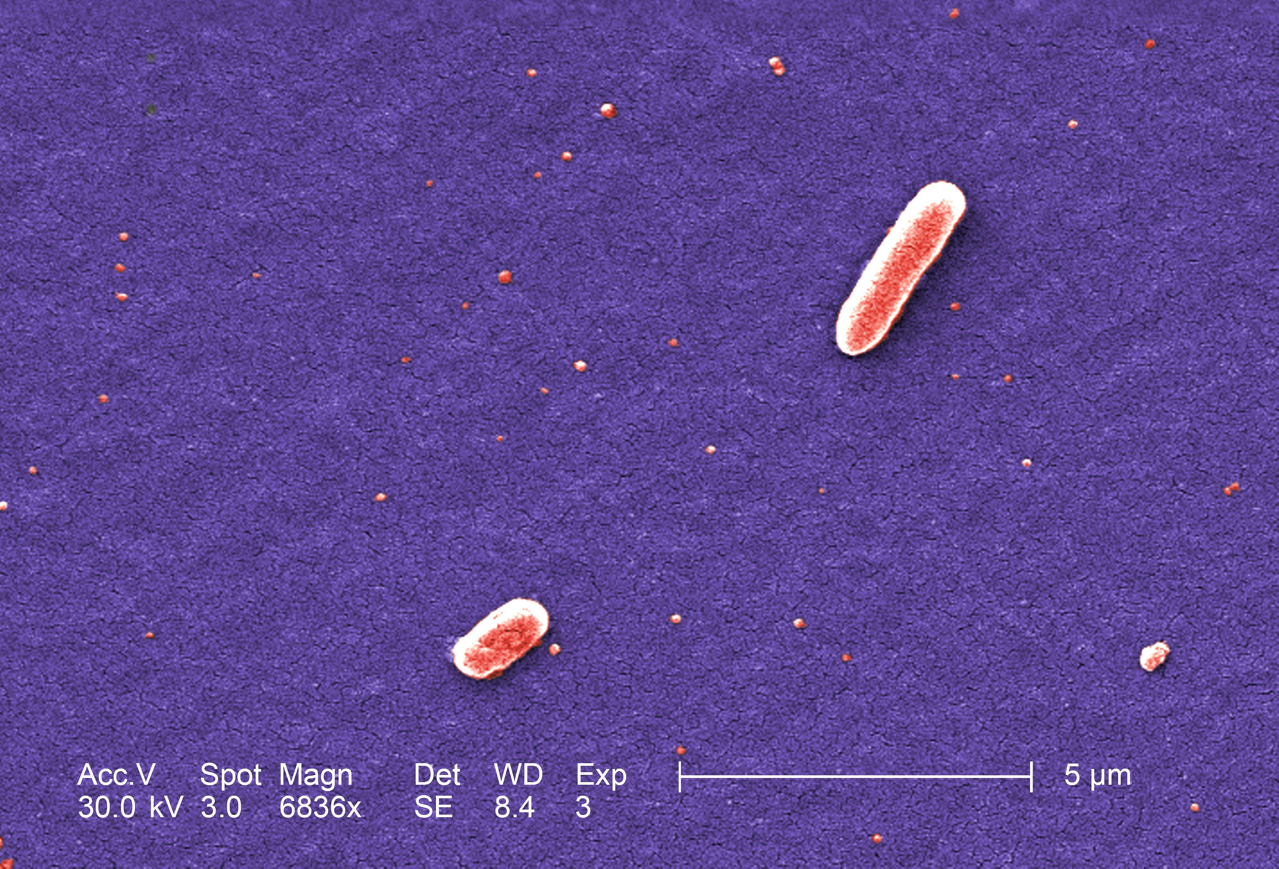 free picture  two  gram  negative  escherichia  coli