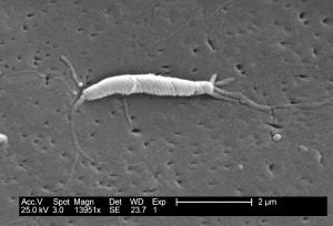 flexispira rappini, bakterier, tæt
