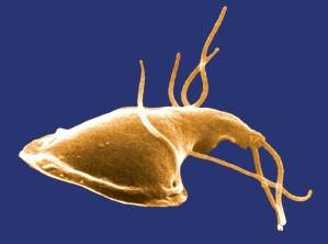 surface, giardia, protozoan, isolated, rats, intestin