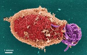 ultrastructural, détails morphologiques, oblongues, en forme, Giardia, protozoaires, kyste