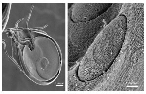 ultrastructural, 형태학, giardia, protozoans, 복 부, 접착제, 디스크