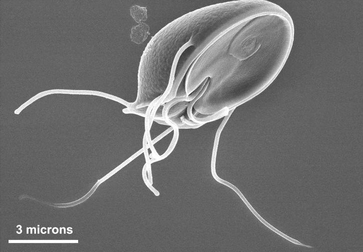 ventrale, surface, Giardia, muris, trophozoïte, ventral, adhésif, disque, ressemble, aspiration, tasse