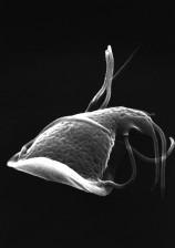 dorsale, surface, intestinale, protozoaire, Giardia