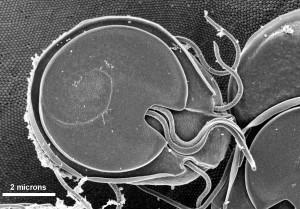 ventrale, superficie, giardia, Muris, trofozoite, costante, delle mucose, superficie, ratti, intestino