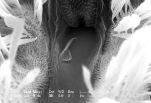 exosquelette, surface, anophèles gambiae, les moustiques, la tête, la région