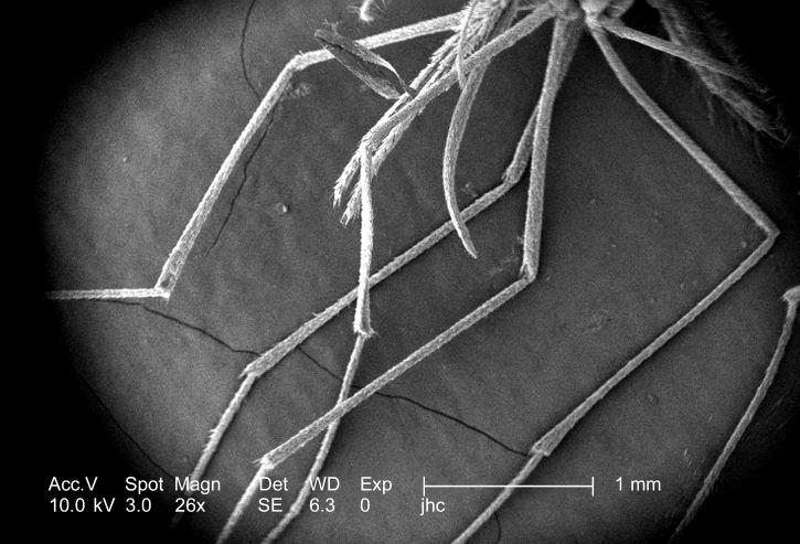 humains, le paludisme, transmis, femelles, genre, anophèles
