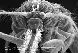 morfologiske, funksjoner, exoskeletal, overflate, anopheles gambiae, mygg, hodet, regionen