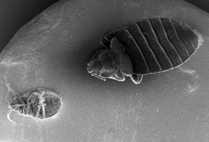dorsal, surface, ventral, surface, two, bedbugs, cimex, lectularius