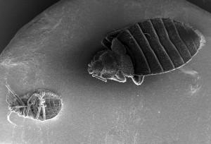 dorsale, surface, ventrale, surface, deux, punaises, cimex, lectularius