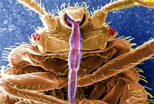 Microscopic insects