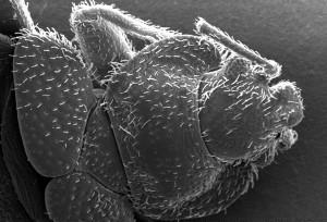 morphologie, dorsale, exosquelette, surface, bedbug, cimex, lectularius