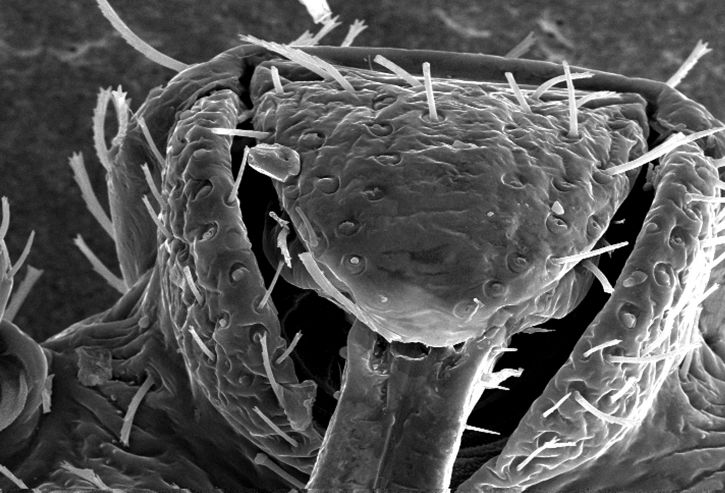 morphology, rostral, head, region, bedbug, cimex lectularius