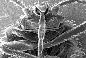 see, insects, skin, piercing, mouthparts, obtain, blood, meal