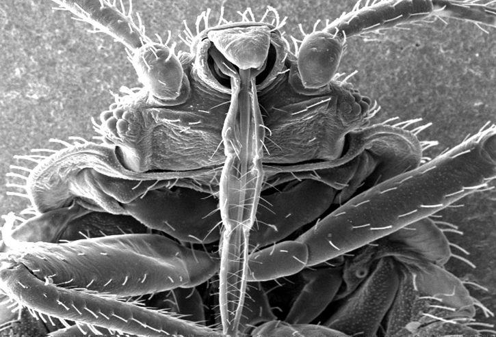 Kostenlose Bild: sehen, Insekten, Haut, Piercing, Mundwerkzeuge, zu ...