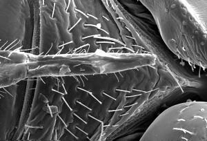 ventral, surface, bedbug, cimex, lectularius, head, thorax