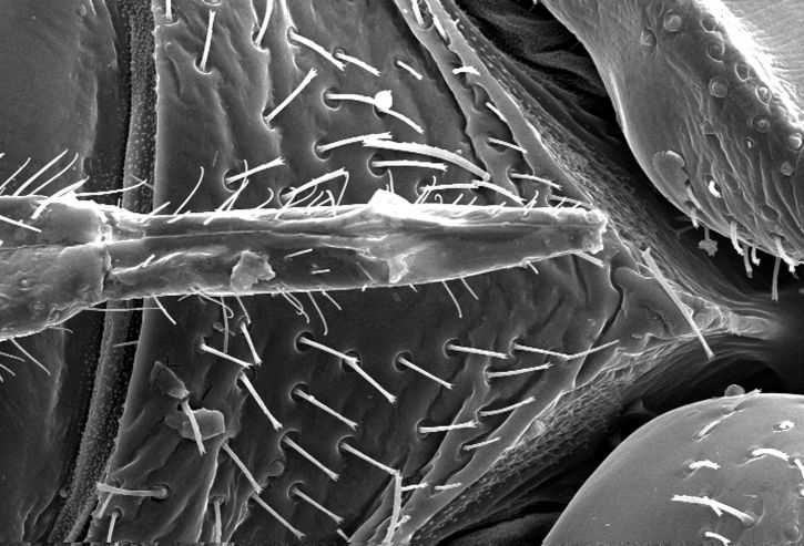 ventrale, surface, bedbug, cimex, lectularius, la tête, le thorax