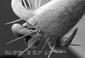 distalmost, exoskeletal, morphology, one, six, legs, unidentified, hornet