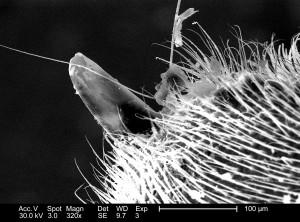 distal, tip, western, honeybees, apis, mellifera, stinger, apparatus
