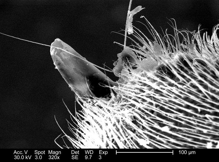 distale, pointe, occidental, les abeilles, apis, mellifera, stinger, appareil