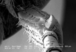 dorsum, erwachsener, figeater, Käfer, eintönig, grün, farbe, ventralen, Oberfläche, lebendig, schillernd, grün