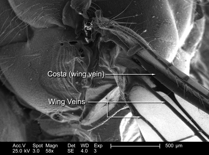 libellules, divisée, deux, principal, groupes, anisoptera, vrais, libellules, vol, maintenir, croix, comme
