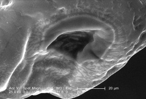 famille, Mutillidae, hyménoptères, velours, fourmi, vraiment, fourmi, guêpe